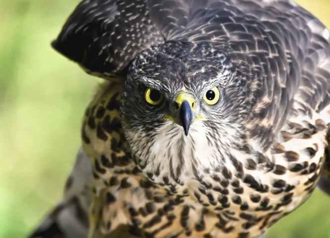 close up of eagle