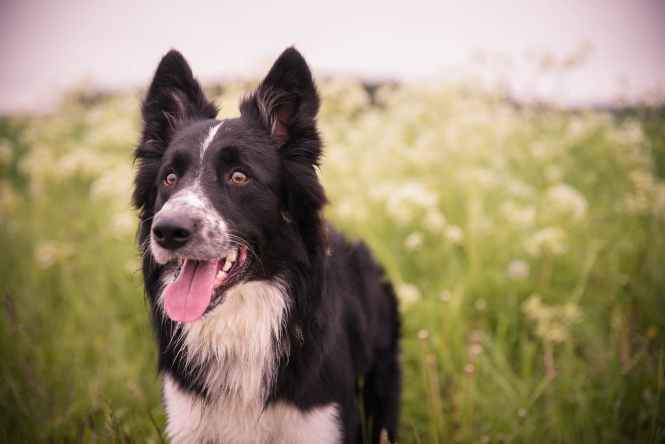 adorable animal blur border collie
